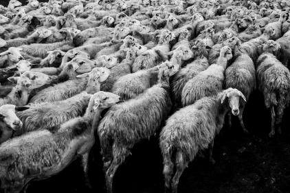 animals, sheep, flock, pile, group, black, white