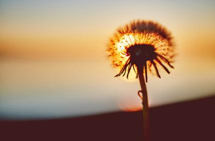 dandelion, flower, nature, sunset, dusk