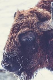 ram, animal, wildlife, snow, winter, cold, weather, wool, horns, brown