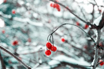 cherry, red, fruit, food, sweets, dessert, branches, plant, snow, winter, cold
