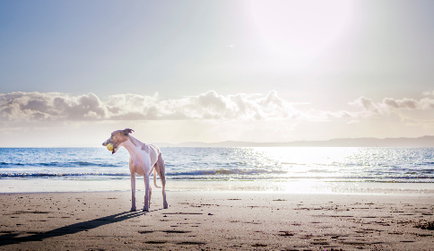 dog,  beach,  ball,  playing,  sand,  sea,  water,  ocean,  blue,  pet,  animals,  canine
