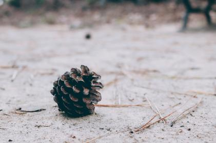 floor, ground, brown, dirt, plant, pine cone, pine