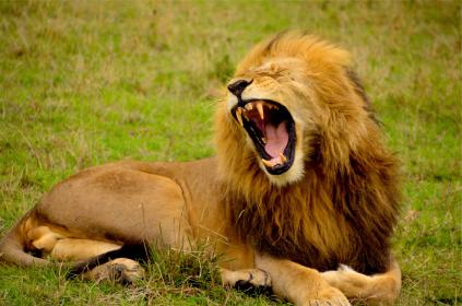 lion, mane, animal, roar, teeth, wild