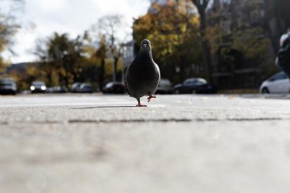 free photo of pigeon  bird