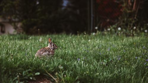 green, grass, lawn, field, squirrel, animal, cottontail
