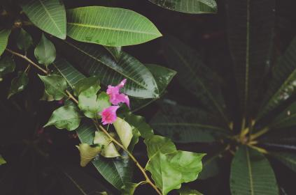 nature, stem, leaves, plants, flowers, green, pink