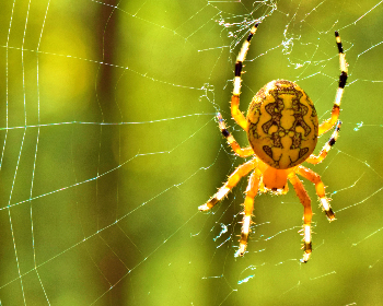 spider, web, yeallow, insect, nature, arachnid, Orb Weaving