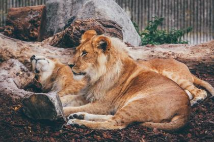 lion, forest, animal, wildlife, wood, tree, nature, resting, zoo
