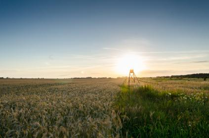 wheat, grass, grain, green, plant, field, agriculture, farm, sunrise, sunshine, sunlight, sky