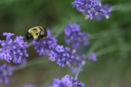 bee,   flower,   macro,   purple,   petals,   pollen,   spring,   nature,   garden,   detail,   insect,   wings,   natural,   outdoors,   close up,  lavender,  bokeh