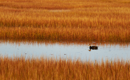 marsh,  field,  nature,  duck,  water,  bird,  animal,  countryside,  lagoon,  lake,  reserve,  landscape,  grass,  outdoor