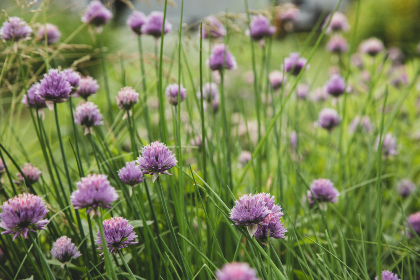 chives,   blossom,   garden,   nature,   wild,   purple,   bloom,   plants,   botanical,   close up,   ingredient,  field,  grass