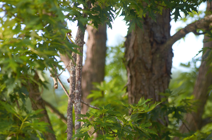 maple,   tree,   leaves,   background,   green,   branch,   sunny,   nature,   outdoors,   foliage,   bokeh,   forest,  bark,  wood
