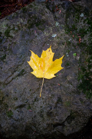 lone,   autumn,   leaf,   fall,   foliage,   trees,   wet,   nature,   outdoors,   hiking,   maple,   rock,   stone,   minimal