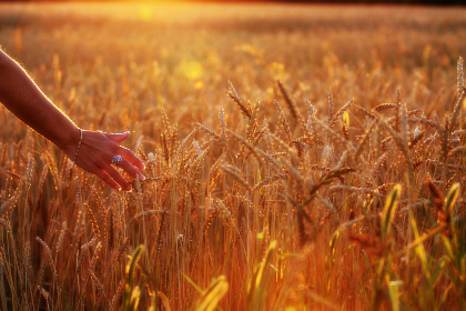 woman,  wheat,  field,  hand,  walking,  summer,  sunlight,  flare,  nature,  outdoors,  beautiful,  wallpaper,  warm
