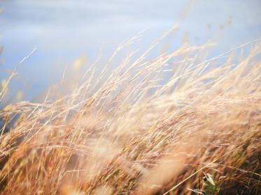 nature, wheat, field, grain, grass, harvest, sway, sky, outdoors
