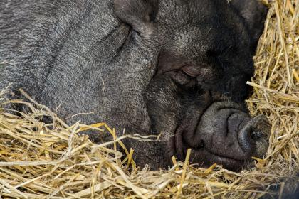 livestock, animal, straw, pig, black, snout