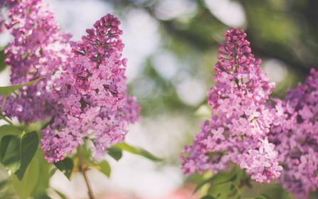 pink, flower, bloom, petal, leaf, plant, nature, garden, blur, bokeh