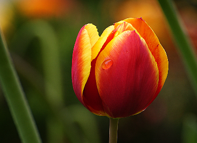 free photo of tulip   flower