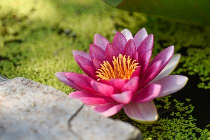 flowers, nature, blossoms, pink, petals, still, bokeh, macro, outdoors, garden, pristine, water, pond, slab, rock, leaves, algae, lotus