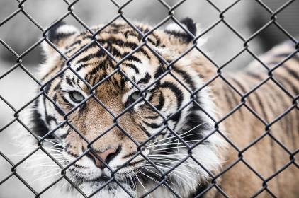tiger, cat, animal, wildlife, woods, wire, fence, barrier, carnivore