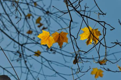 nature, trees, branches, leaves, maple, sky, light, summer, spring, still, bokeh, blue, brown, yellow