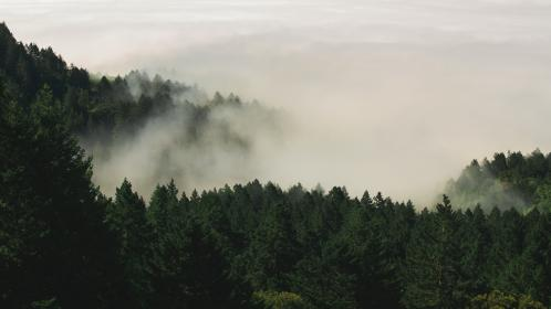 nature, forests, trees, pine, fog, green, white