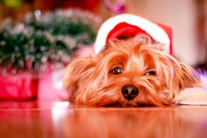 dog, puppy, pet, animals, santa, hat, christmas