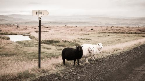 sheep, animals, dirt, road, fields, rural