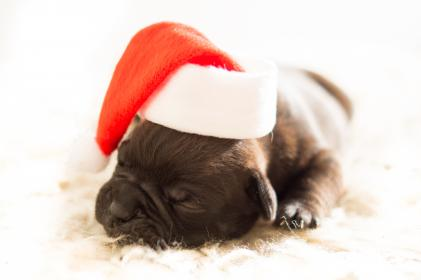 bulldog, dog, puppy, pet, christmas, hat, santa