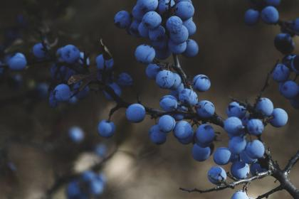 nature, fruits, food, blueberries, berries, branches, blue, bokeh, outdoors