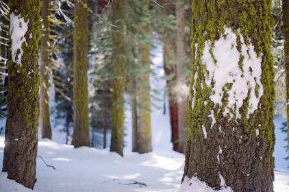 snow, winter, cold, nature, woods, trees, bark, tree trunks
