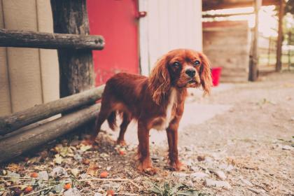 dog, puppy, animal, pet, brown, outside, wood
