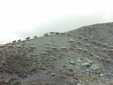 wild, sheep, animals, mountain, rocks, dirt
