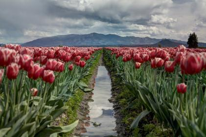 flowers, nature, blossoms, field, garden, landscape, leaves, reflection, stream, mountains, clouds, red, green