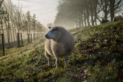 animal, sheep, grass, forest, fog, sky, clouds, landscape, green, nature