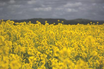 field, yellow, flowers, spring, summer, nature