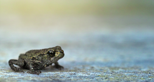 small,  green,  frog,  amphibian,  reptile,  alone,  animal,  eyes,  still