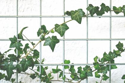 vines, plant, green, leaves, nature, wall, fence, outdoor