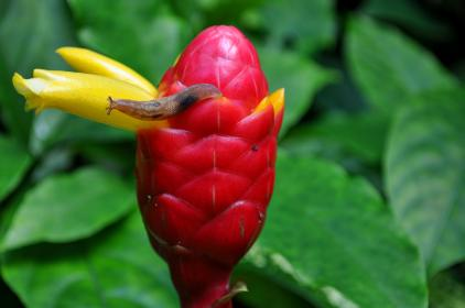snail, flower bud, leaves, nature, red