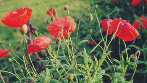red, poppies, flowers, garden