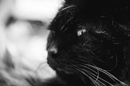 animals, feline, cats, whiskers, snout, fur, fierce, eyes, curious, still, bokeh, black and white