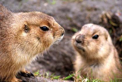 prairie dogs, animals