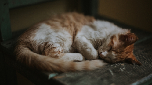 brown,  cat,  asleep,  white,  curled,  wood,  bed,  old,  pet,  kitten,  animals