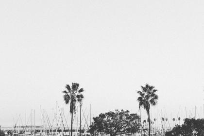 harbor, boats, sailboats, palm trees, water, black and white