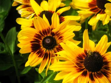 sunflowers, garden, plants