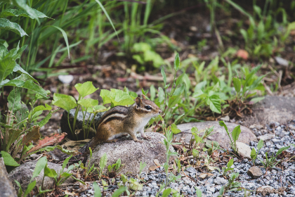 chipmunk,  animal,  nature,  widlife,  rodent,  garden,  yard,  backyard,  wild,  stones,  squirrel,  outdoors