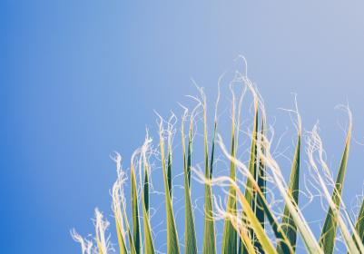 nature, harvest, crops, corn, stalks, hair, strings, edges, rows, height, lines, patterns, textures, sky, blue, green