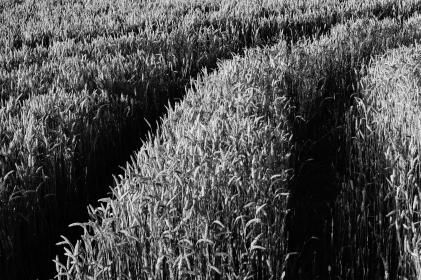 field, grass, crops, rice, plantation, black and white, monochrome
