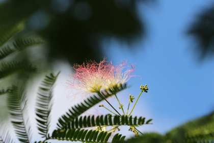 nature,  flowers,  trees,  mimosa,  mimosa tree,  outdoors,  macro,  canon,  mimosa flower